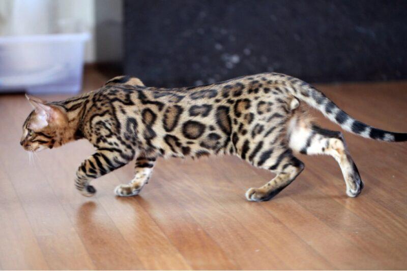 Телосложение бенгальской кошки