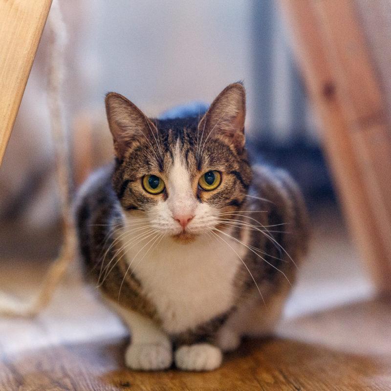Кошачий инфекционный перитонит (FIP) у кошек