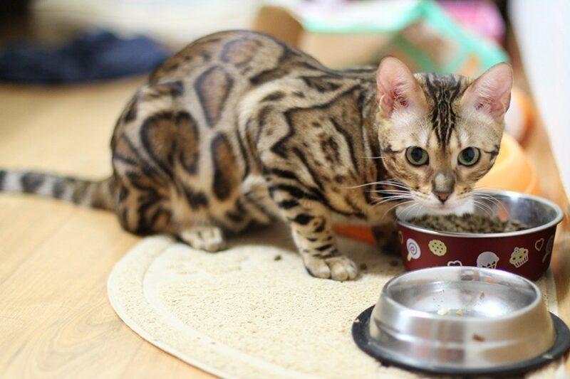 В каких ситуациях кошкам нужно лечебное питание?