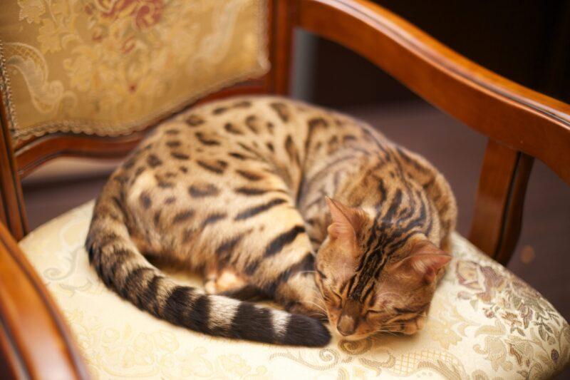 Коронавирус: исследование показывает, что люди могут передавать COVID-19 кошкам