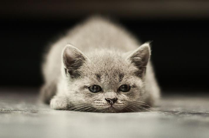 Цистит у кошки лечение антибиотиками