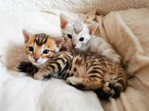Как выглядит бенгальский котенок?