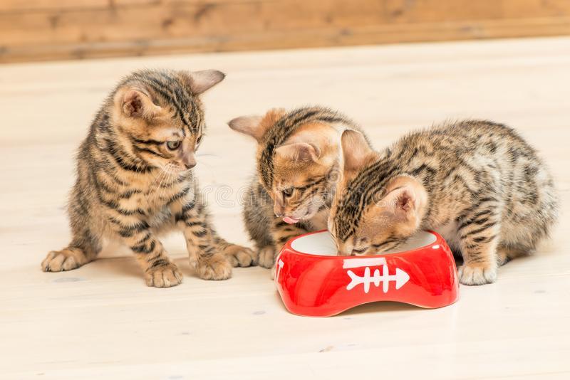 Много ли едят бенгальские кошки?