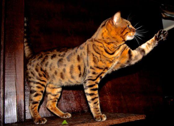 Бенгальская кошка, минусы.