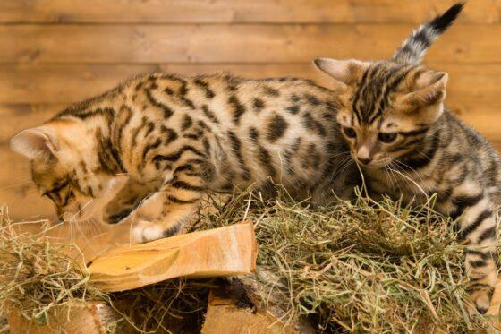 Бенгальская кошка - для разведения