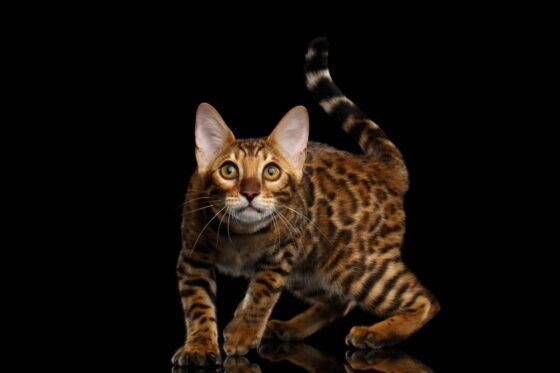 Бенгальская кошка. Размеры