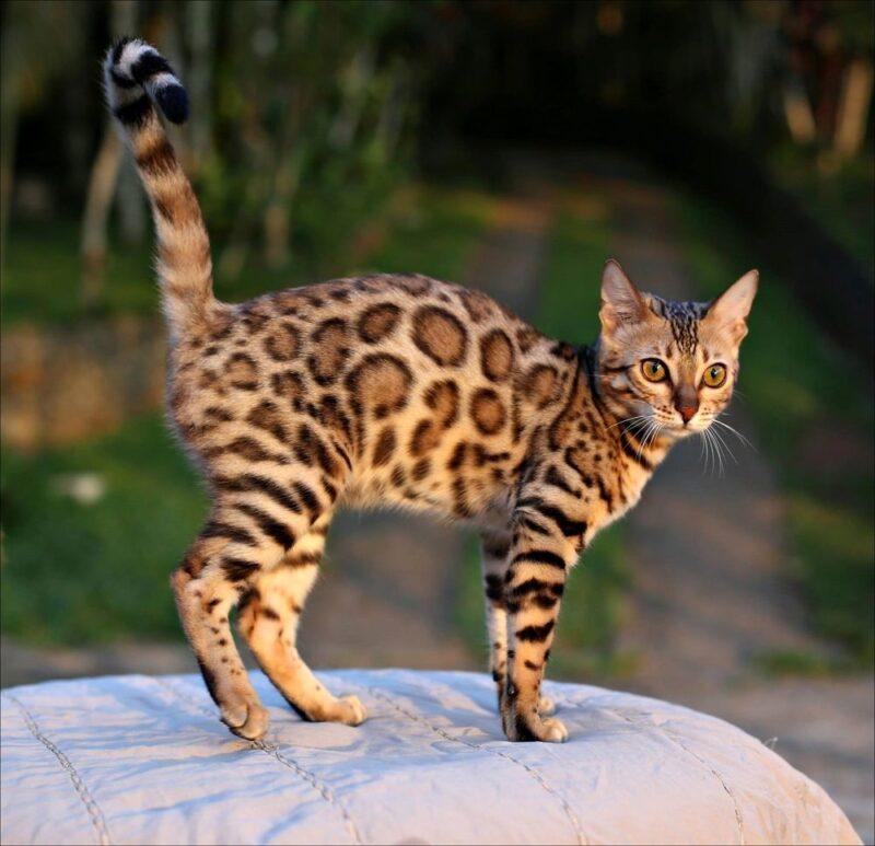 Рост бенгальской кошки