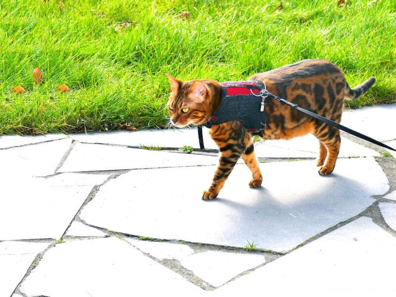 Любят ли бенгальские кошки гулять?