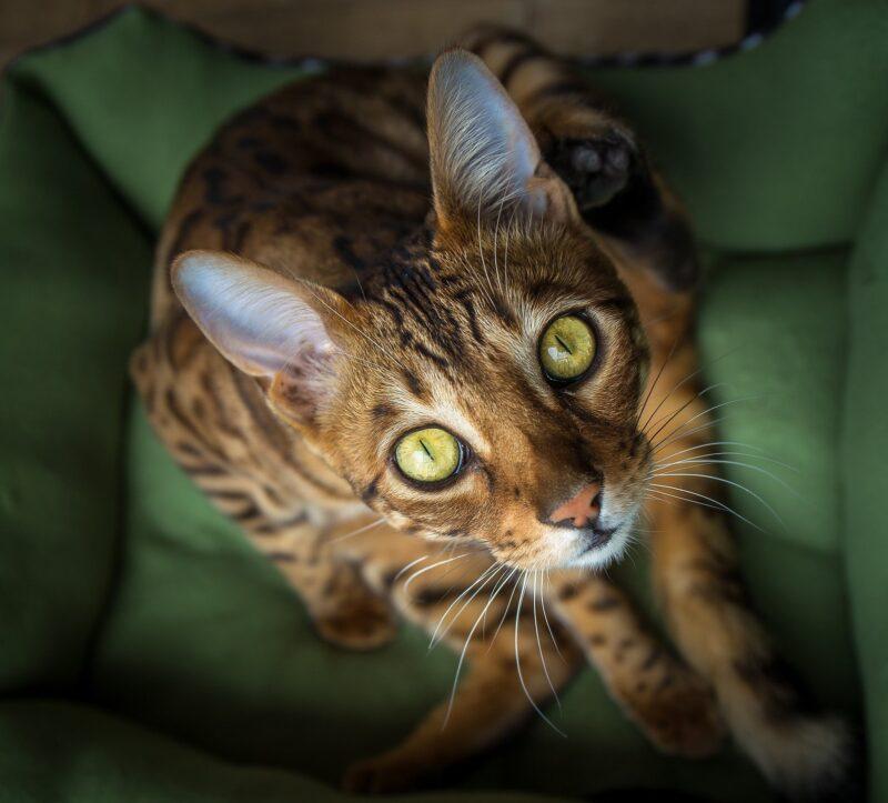 Заболевания и наследственные болезни бенгальских кошек