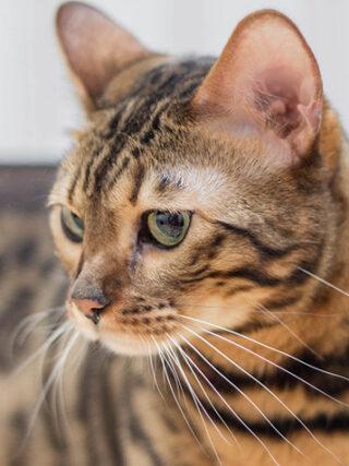Бенгальские кошки - хорошие домашние животные?