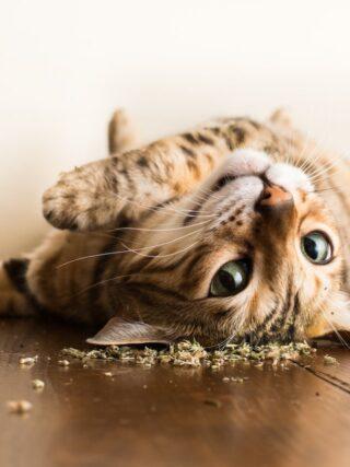 Кошачья мята: Почему кошкам это нравится?