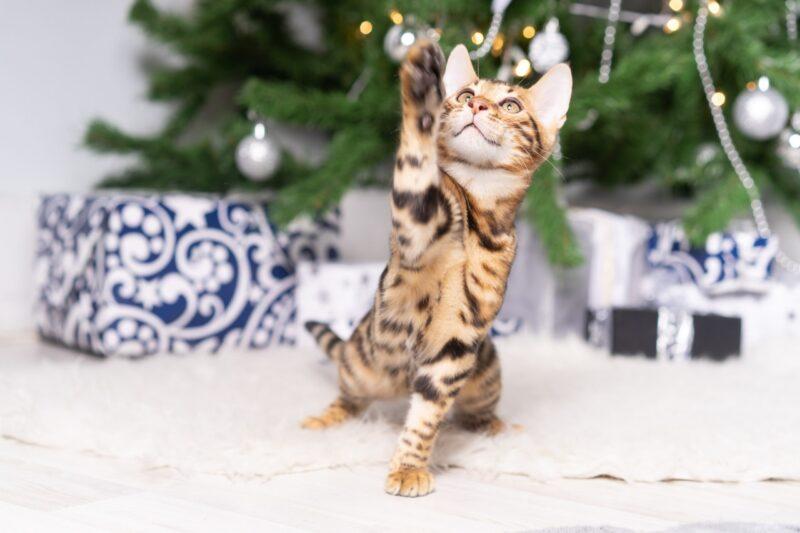 У меня есть бенгальская кошка - можно ли поставить елку?