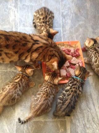 Какой корм подходит бенгальской кошке