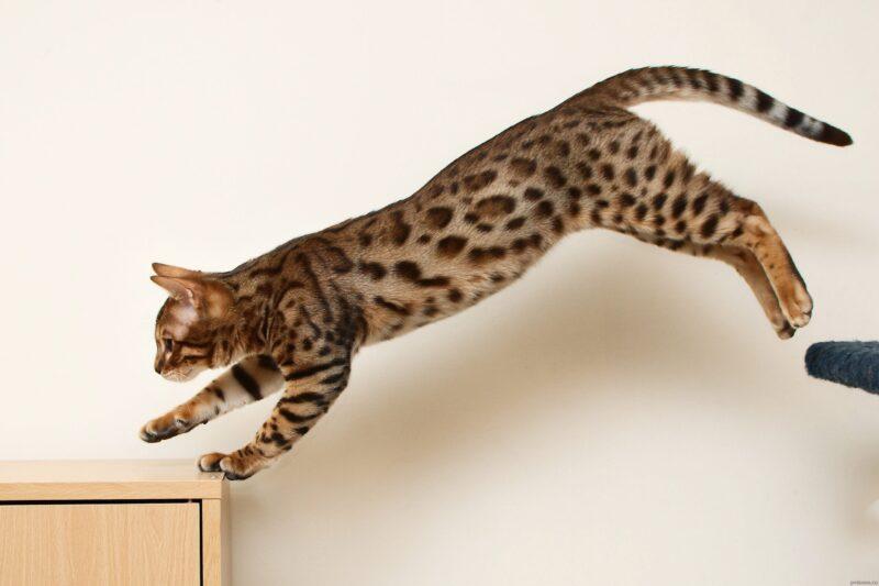 Отучение бенгальских кошек от прыжков по столам
