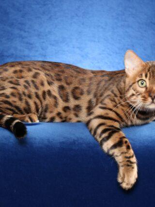 Следует ли мне регистрировать нового бенгальского котенка?