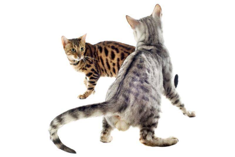 Держите бенгальскую кошку одну или пару?