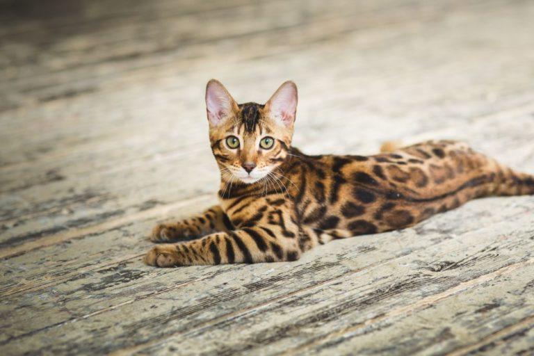 Продолжительность жизни бенгальских кошек