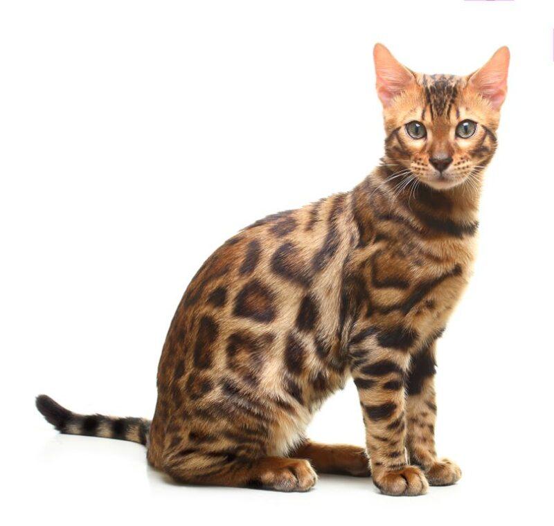 Бенгальская кошка - их размеры