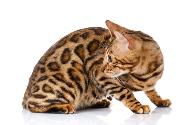 Породная характеристика бенгальской кошки