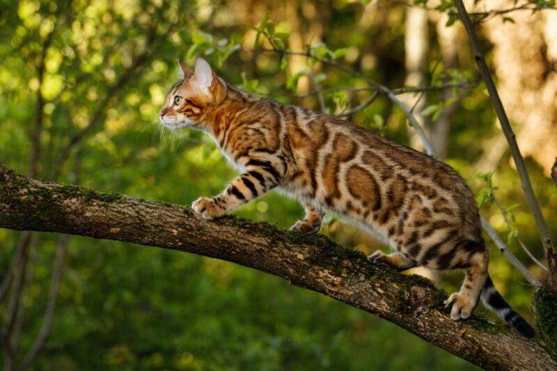 Бенгальская кошка: живете в квартире или на природе?