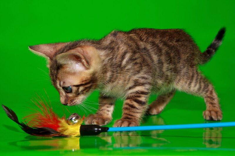 Игрушки для бенгальских кошек