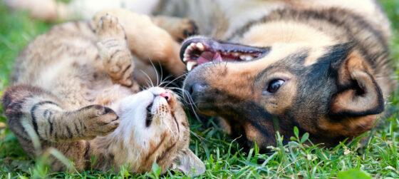 Дружат ли бенгальские кошки с собаками?