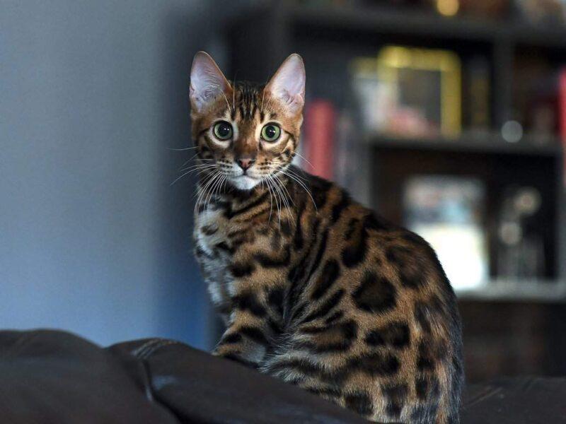 Заболевание мочевыводящих путей у кошки