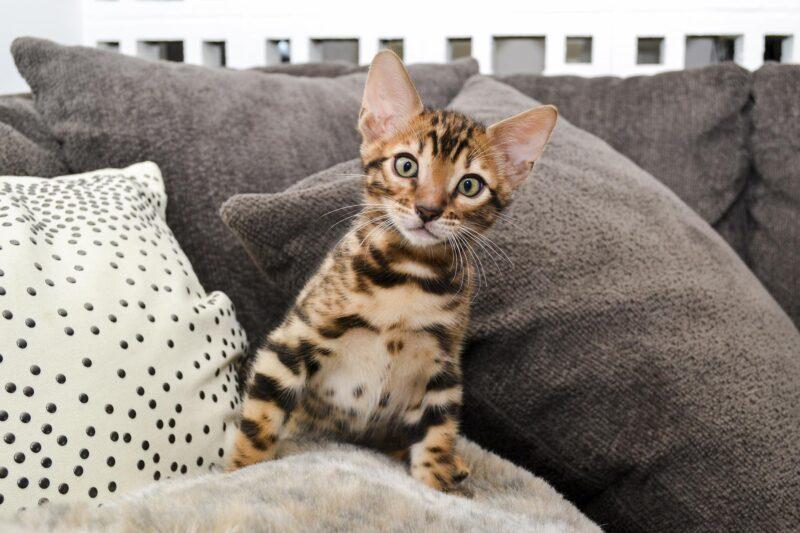 Как долго живут бенгальские кошки?