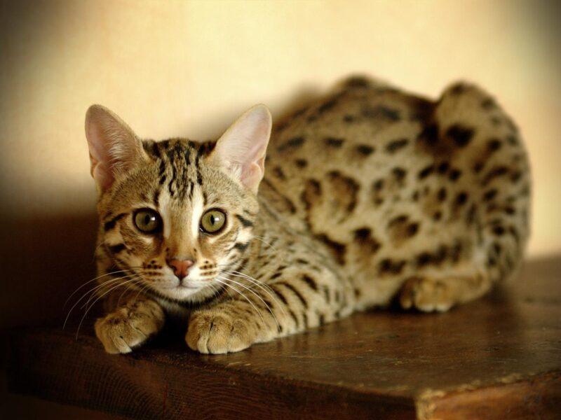 Инфекционный перитонит у кошек