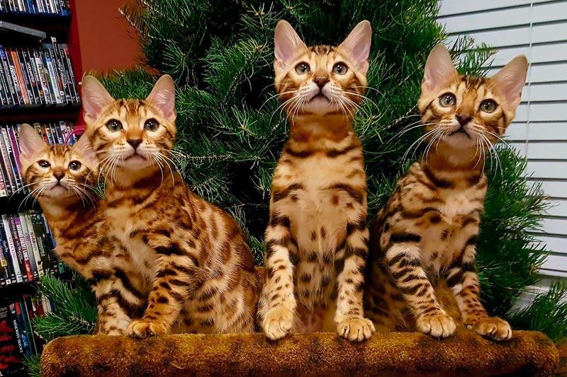 Как заняться разведением бенгальских кошек