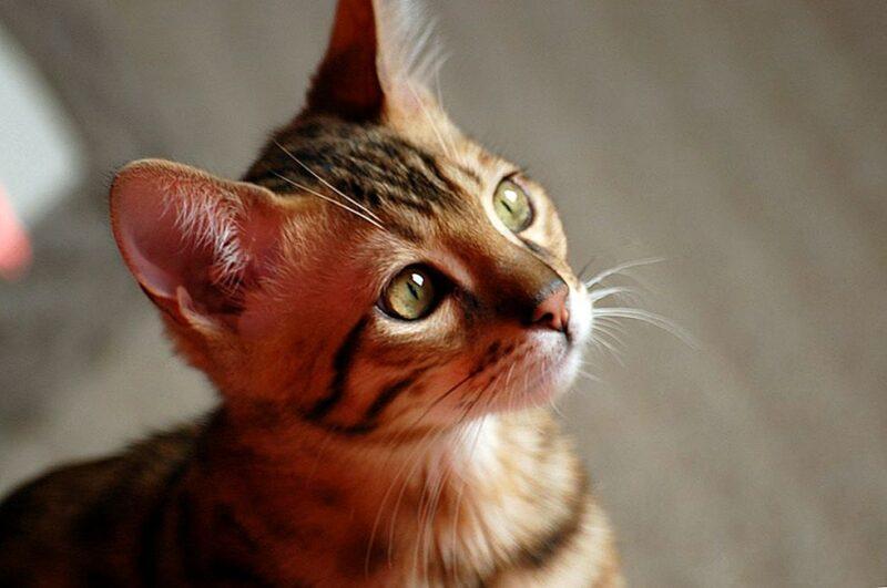 Связаны ли бенгальские кошки с одним человеком?