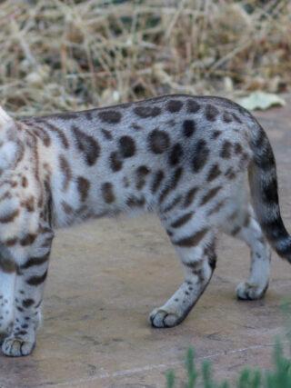 У бенгальских кошек голубые глаза?