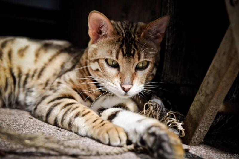Гипоаллергенна ли бенгальская кошка?