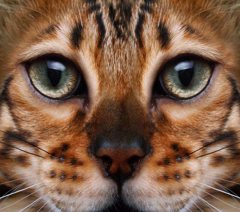 Кошки общаются голосом и телом. Общение между людьми и кошками можно четко отличить от общения между кошками, животные приспосабливаются к своим людям с точки зрения языка тела.