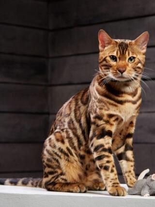 Чем любят играть бенгальские кошки?