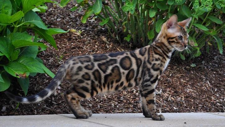 Бенгальская кошка: аллергия на кошек