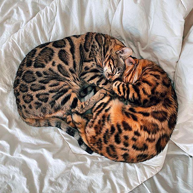 Пятнистые домашние кошки породы