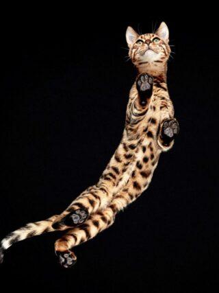 Есть ли у бенгальских кошек проблемы со здоровьем?
