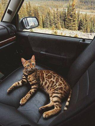 Любят ли бенгальские кошки кататься на машине?