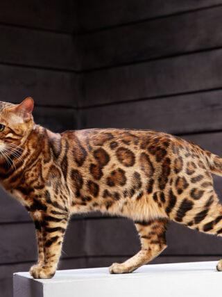 Пахнут ли бенгальские кошки?