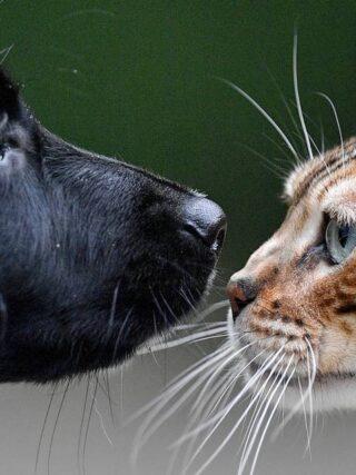 Ладят ли с собаками Бенгальские кошки?