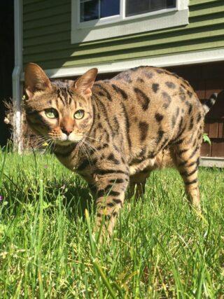 Безопасно ли выпускать бенгальскую кошку на улицу?