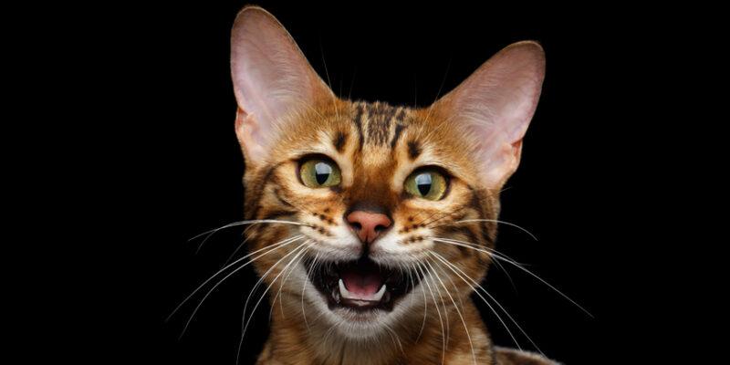 Почему Бенгальские кошки так часто мяукают?