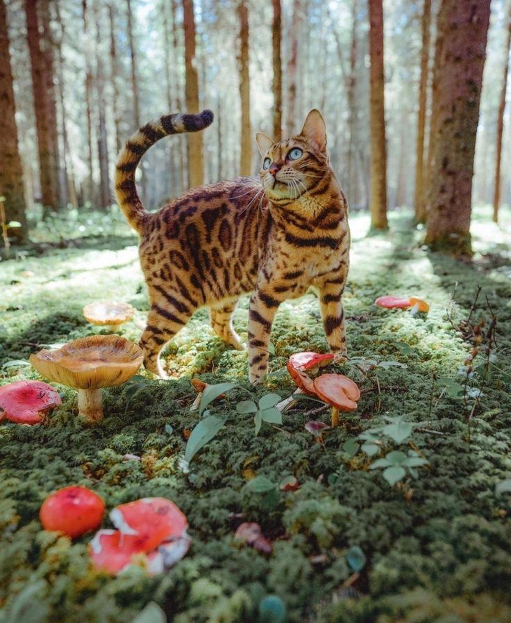 Личность бенгальской кошки
