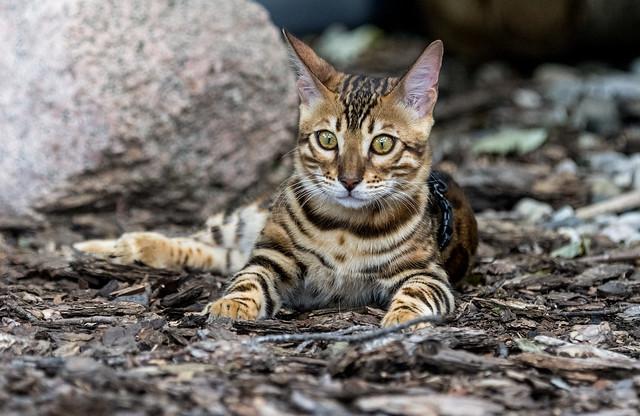 Всё, что вам нужно знать о бенгальской кошке