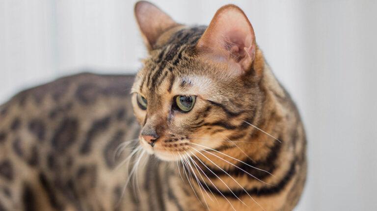 Когда стерилизовать бенгальскую кошку?