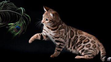 Дрессировка и воспитание бенгальской кошки. Несколько трюков, чтобы привлечь её внимание!