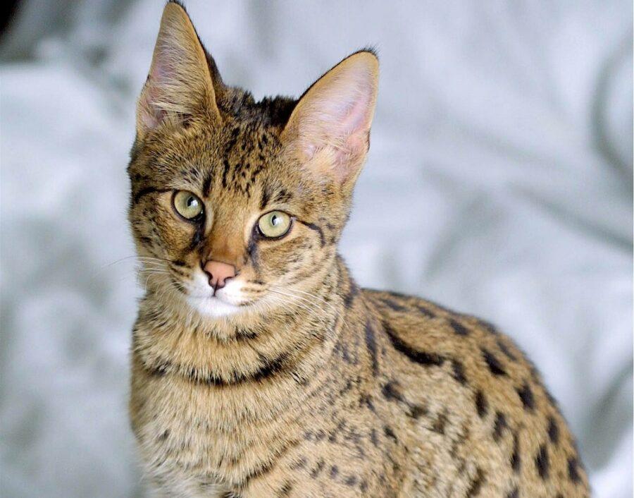 САВАННА, кошка, которая является миниатюрным гепардом