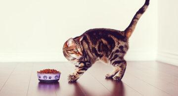 Какую еду давать бенгальской кошке?