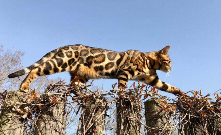 Что нужно знать о бенгальской кошке?